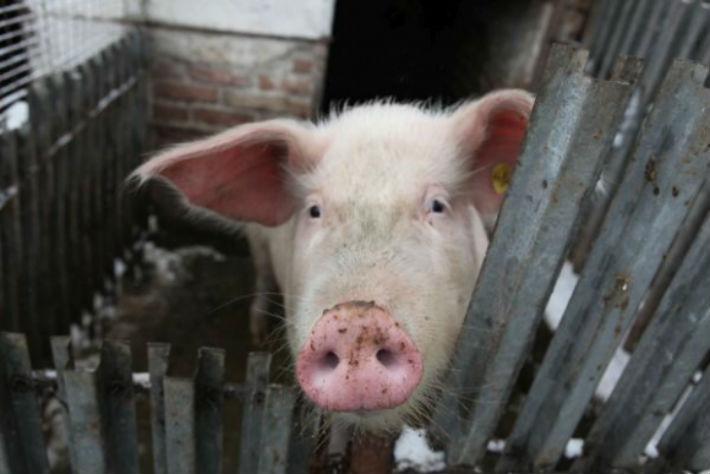 Povesti de iarna: O gospodina din Prahova a sarit, impreuna cu copiii, pe hotul care ii fura porcul (UPDATE)