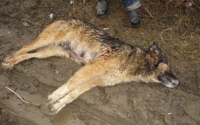 Brasov: Paznic de vanatoare, cercetat penal pentru ca a impuscat doi caini