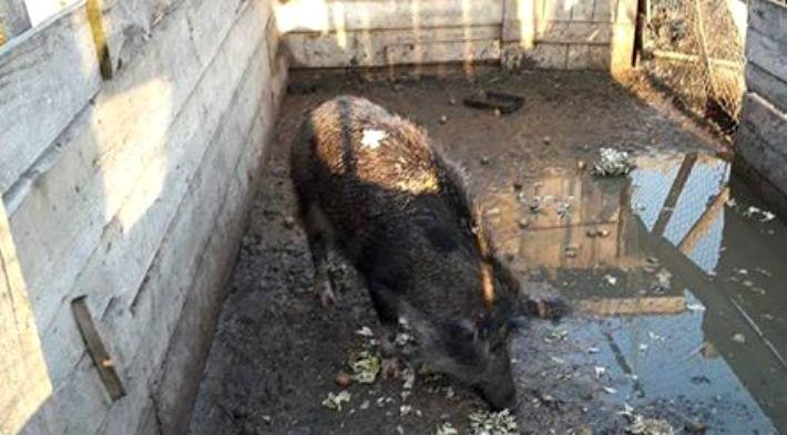 porc mistret de vanzare