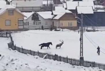 Cand un cal se crede cerb… un altul ii raspunde din padure (VIDEO)